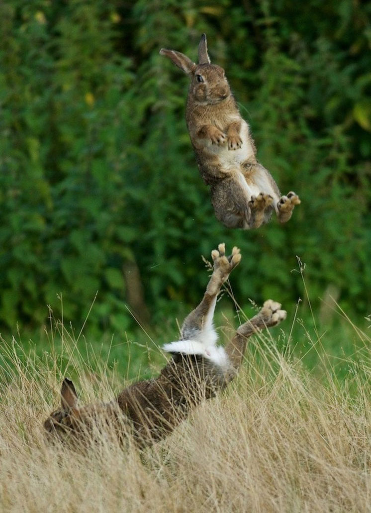 34-two-bunnies-playing-in-the-field