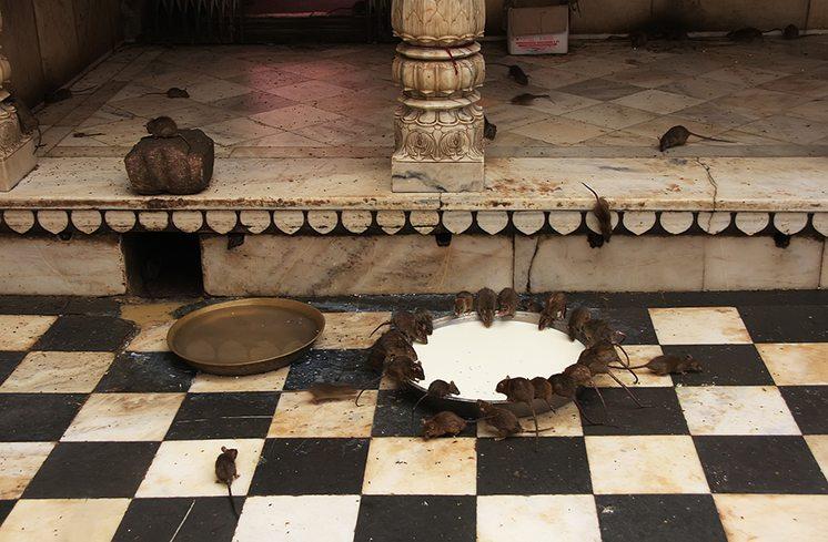 Holy rats drinking milk from a bowl, Karni Mata Temple, Deshnok,