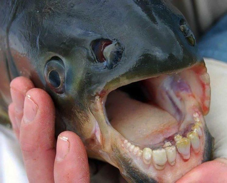 70-fish-with-human-like-teeth